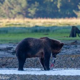 Bear watching in Glendale Cove