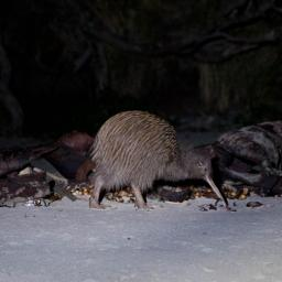 The Stewart Island Brown Kiwi or the Southern Tokoeka