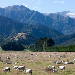 Still some sheep left in New Zealand