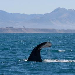 Tiaki: Mature male often seen in the bay.  Surfaces for about 15 mins between dives - which are 30-45 mins.