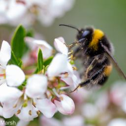 Bombus terrestris, the buff-tailed bumblebee or large earth bumblebee