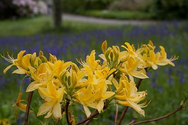 Rhododendron luteum (Yellow Azalea or Honeysuckle Azalea)