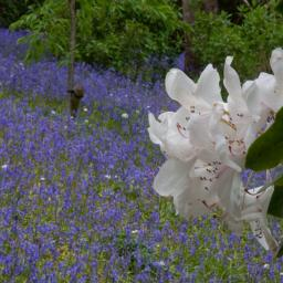 Rhododendron and Bluebells