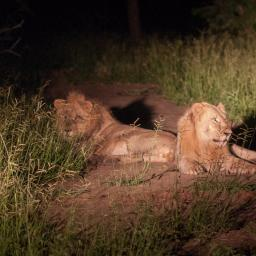 The two male lions re-introduced in 2012. Nearby is one female. By day they were very elusive.