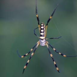 A varient of the Golden Orb Spider family