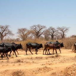 Roadside Tanzania 2009 ~ Cattle, donkeys and camels