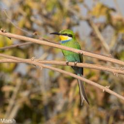 Swallow tailed Bee-Eater