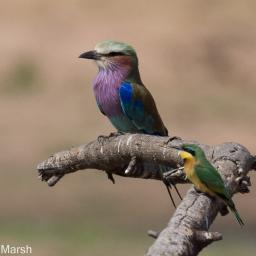 Little Bee-Eater and Lilac breasted roller