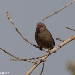 Firefinch, Red-billed? female