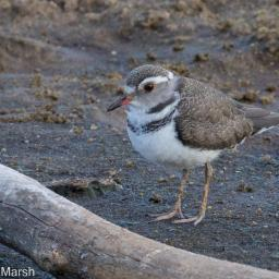 3-banded Plover imm.