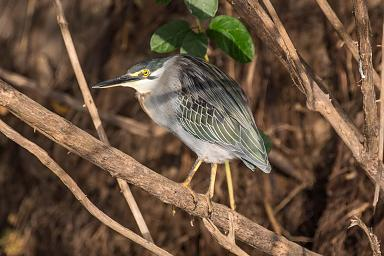 Striated heron a.k.a. green-backed