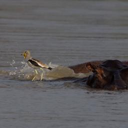 Hippo and White-headed Lapwing