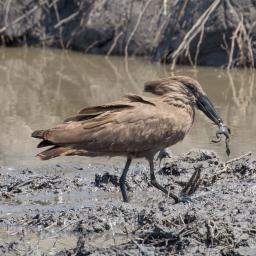 Hammerkop and frog