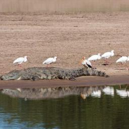 Crocodile, spoonbills and yellow billed storks