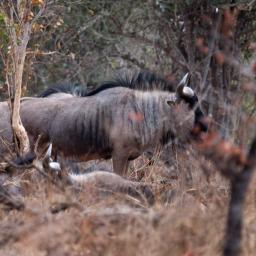Rare wildebeest in the Mosi oi Tunya NP