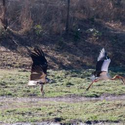 At the fishing party an immature fish eagle trys to take the catch from a yellow billed stork