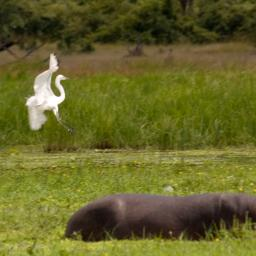 Egret and hippo