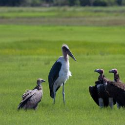 Cabinet meeting - Marabou stork, lappet-faced vultures and a white backed vulture