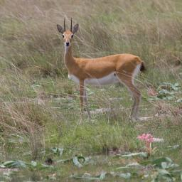 Oribi (Ourebia ourebi) are the main antelope of the plain