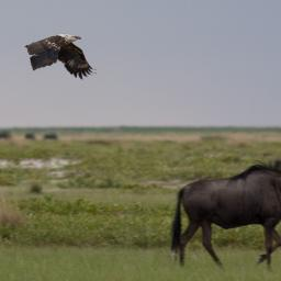 Fish Eagle (I think) and wildebeest