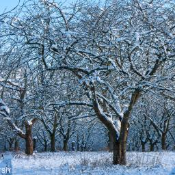 Cherry Orchard, Townsend, Harwell. (Winter 2010)